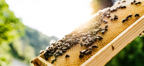 Bees on honeycomb frame in the sun